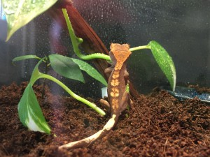 Crested Gecko is coming!