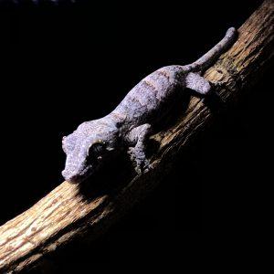 [:en]Gargoyle gecko came to my house.[:ja]角帝守宮 ガーゴイルゲッコー様[:]